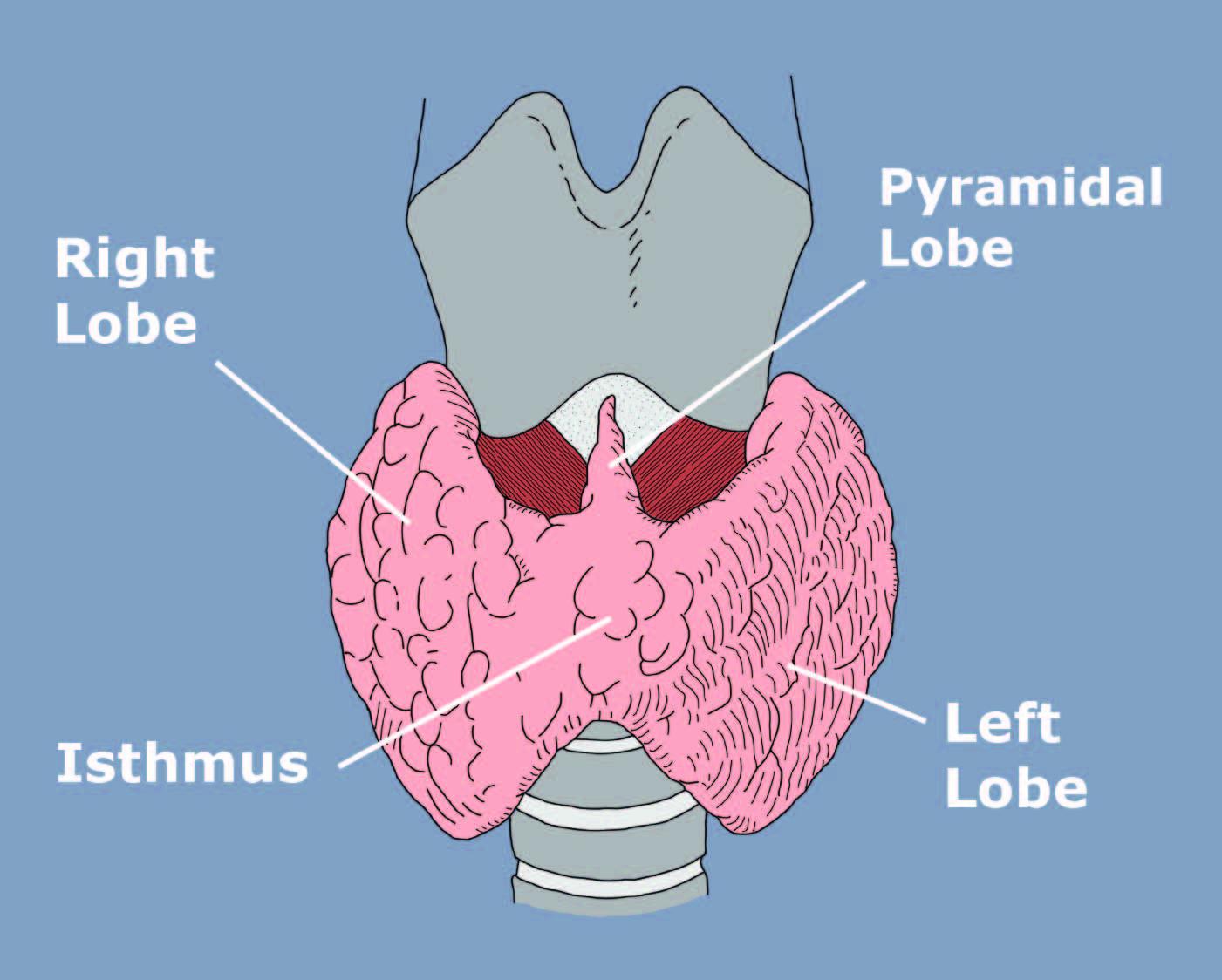 Thyroid Anatomy & Physiology - Miami Endocrine Surgery