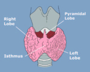 Thyroid Anatomy Physiology Miami Endocrine Surgery